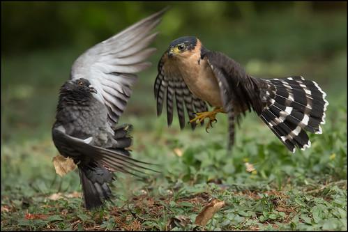 Bicoloured Hawk