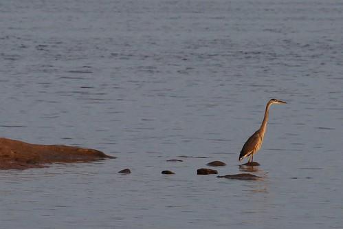 morning lake water composition canon hunting northcarolina greatblueheron lakejordan 5dmrkiii