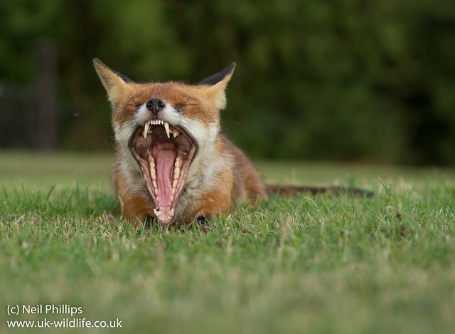 lying down fox yawn-5