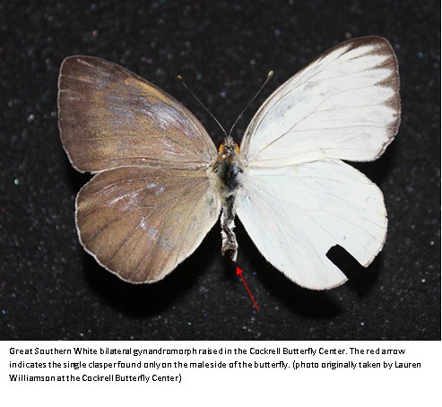 It's a Boy! And a girl? Butterfly with rare condition emerges in Cockrell Butterfly Center