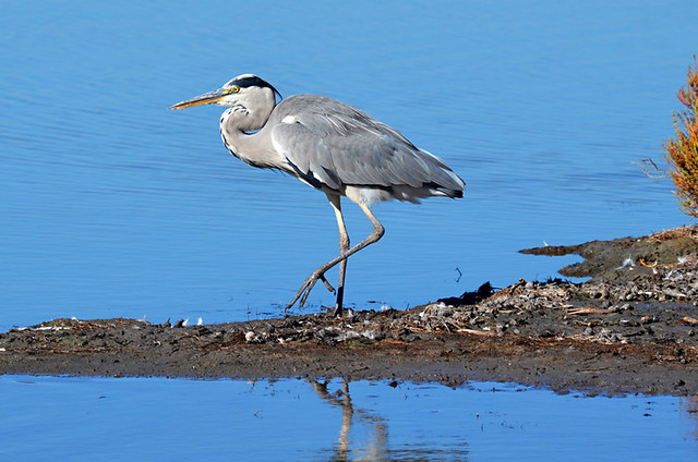 Heron, Ornithological Park, Saintes Maries de la Mer, Camargue, France