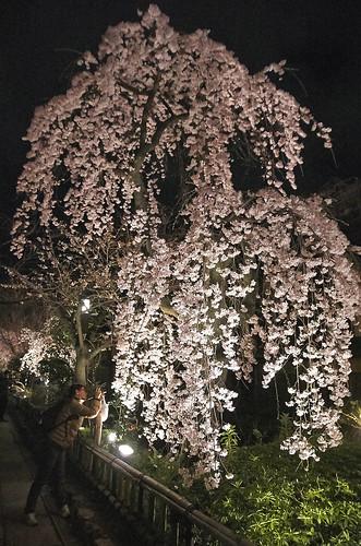 【写真】2014 桜 : 祇園白川/2020-09-13/IMGP5578