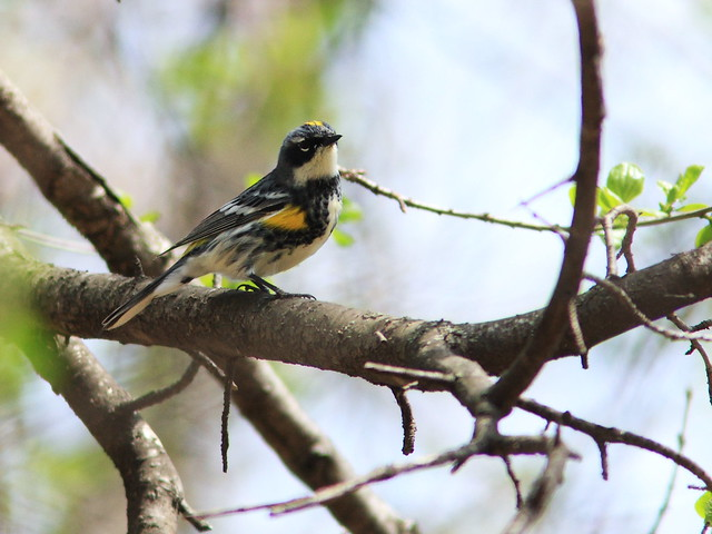 Yellow-rumped Warbler 20140506
