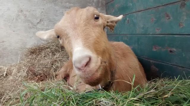 goats May 15 32