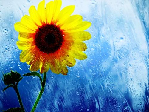 rain sunflower anthropic smartphotoeditor