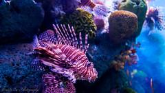 Lionfish - Bangkok Ocean World