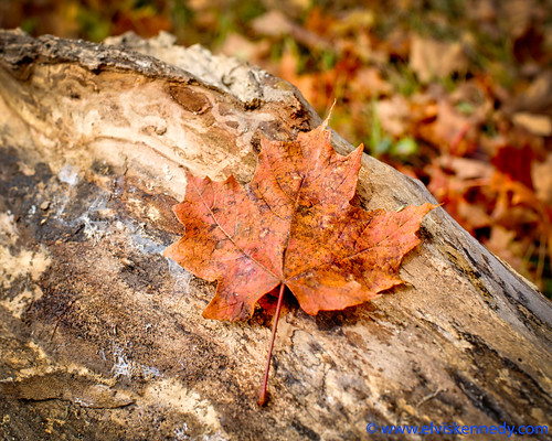 Fall into Winter - Equinox to Solstice #31 - Maple Leaf