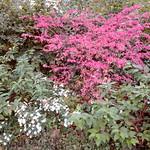 Fusain ailé (Euonymus alatus). Parc de la Planchette. Levallois-Perret. Hauts-de-Seine.