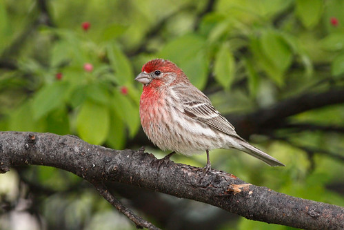 wild tree bird nature animal closeup fauna bill michigan wildlife beak feather perch ornithology birdwatching housefinch avian carpodacusmexicanus malehousefinch redfinch