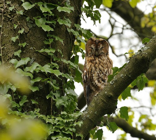 Tawny Owl by Andy Pritchard - Barrowford