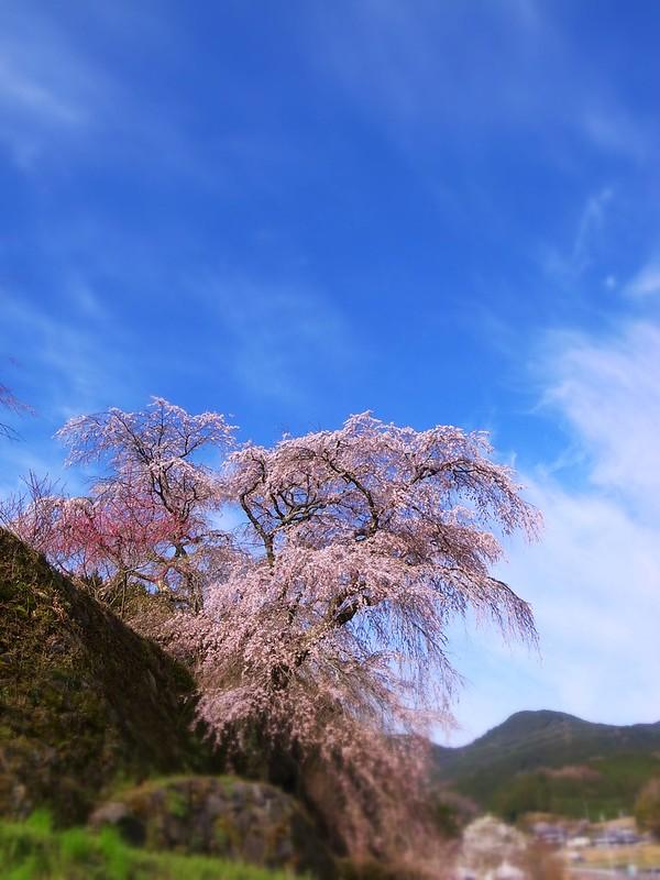 又兵衛桜02_2012