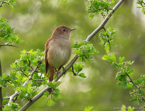 Nightingale at Paxton Pits