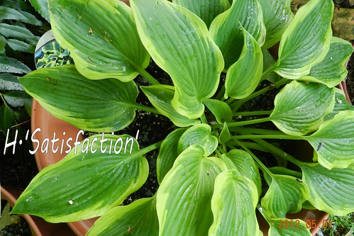 Hosta 'Satisfaction'