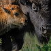 Bison Calf and Mom_0586.jpg