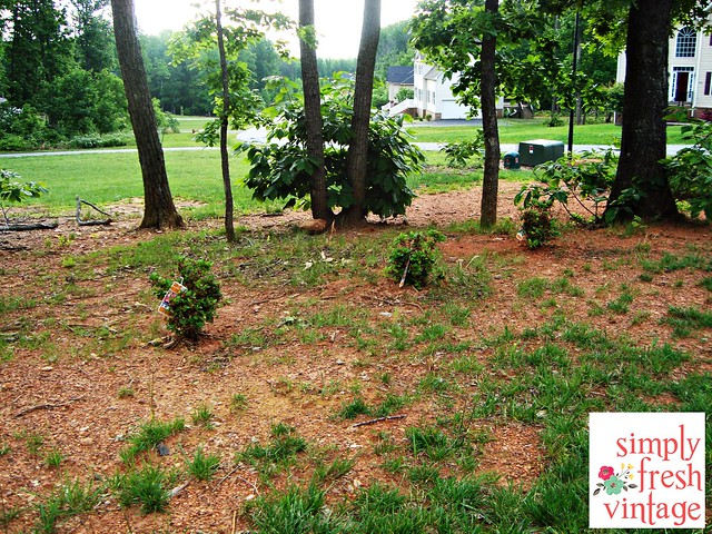 Azaleas - May Garden ... Simply Fresh Vintage