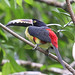 Collared Aracari, Costa Rica (Reagan Smith)