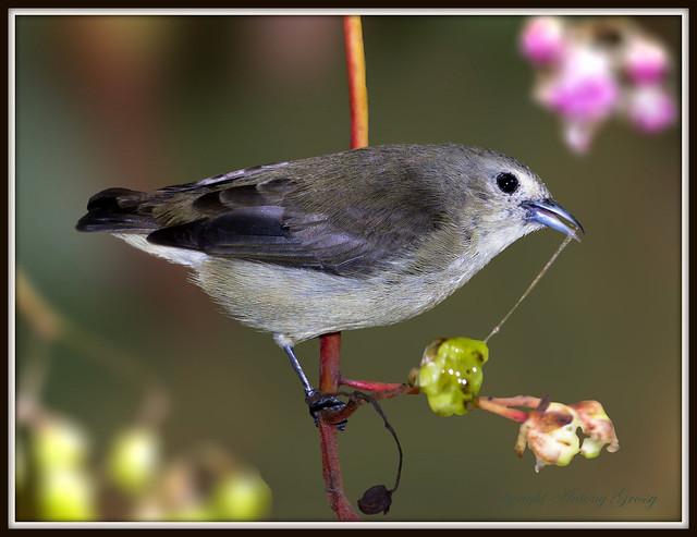 Nilgiri Flower Pecker