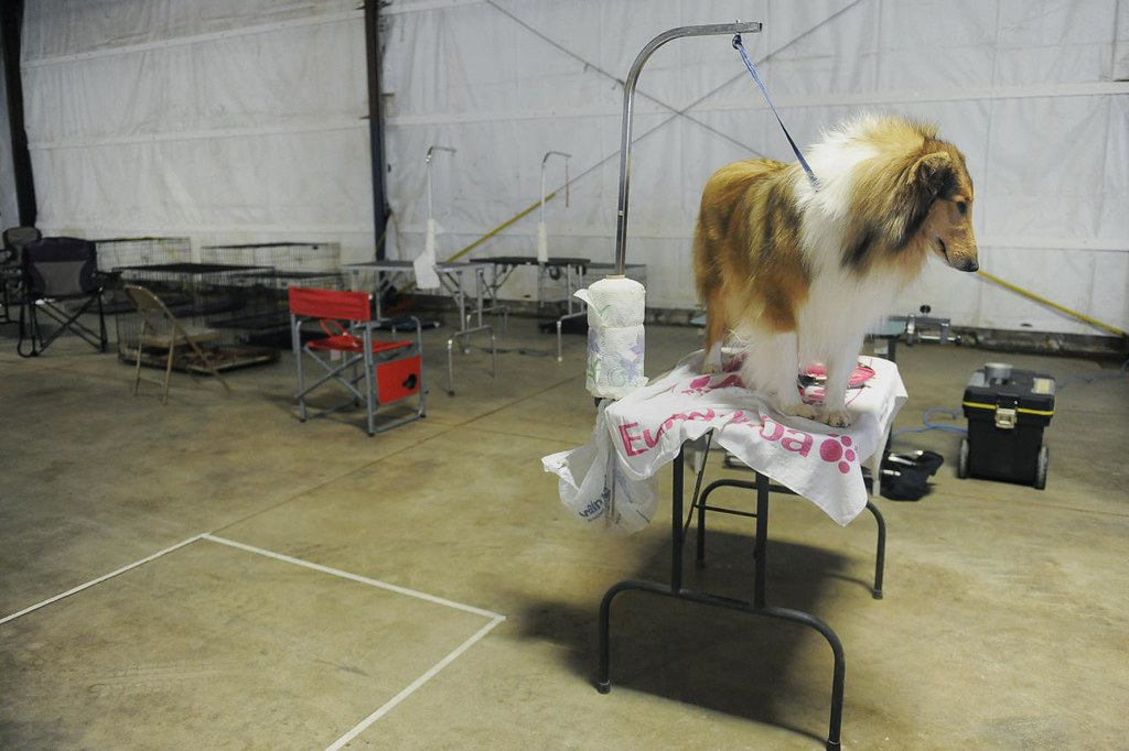 AMY STROTH/Missourian  Buttons (CQ), a two-year-old sable and white rough collie (CQ), stands on the grooming table during the set-up for the Columbia Missouri Kennel Club's 2013 All Breed Dog Show, Friday, March 8, 2013 at the Central Missouri Event Center. Peggy Howard (CQ), Button's handler, has been showing dogs for 30 years and competes in 20-30 shows every year.