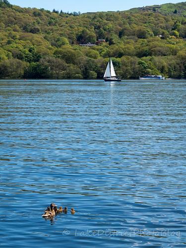 ウィンダミア湖の母ガモと子ガモ