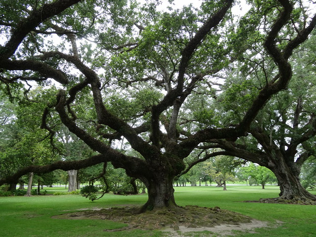 Virginia Live Oak with Spanish Moss from Flickr via Wylio