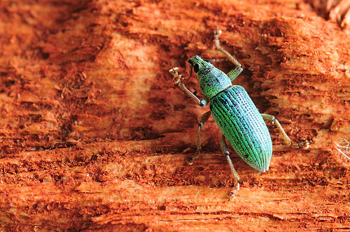 Turquoise   (Polydrusus formosus - Green Immigrant Leaf Weevil)