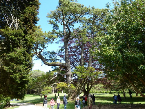 20130525_Powerscourt_PinusRadiata_Cutler_P1470222