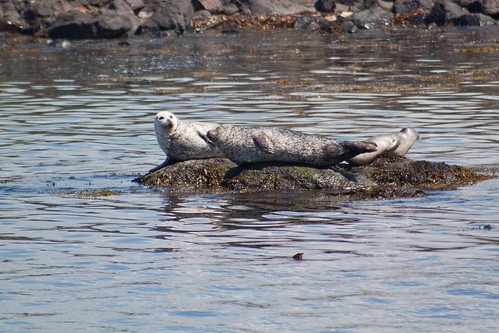 Common Seals basking in the sun.
