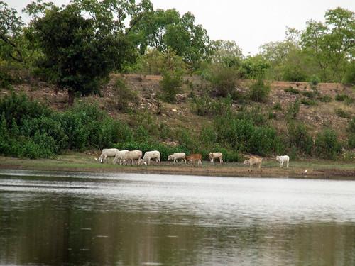 Animals on the banks of the Kisanpuri Malguzari tank
