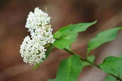 Texas Milkweed Asclepias texana_St Edwards Pk_Travis_TX_060913b