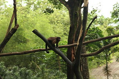 A capuchin monkey climbs in the trees