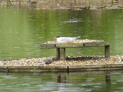 Greenwich Ecology Park - Common tern