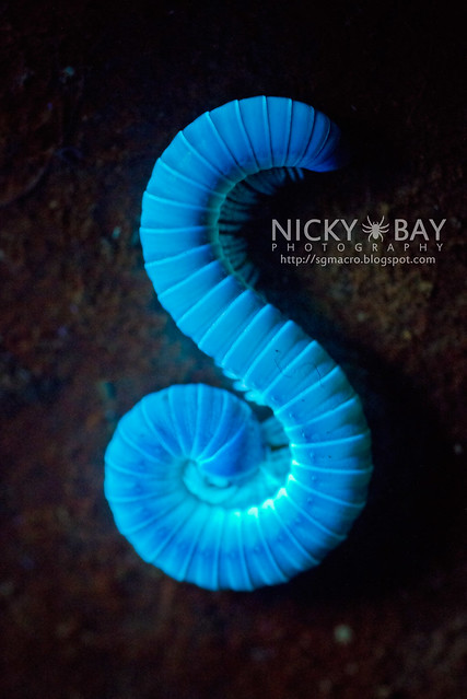 Millipede under UV light (Diplopoda) - DSC_8981
