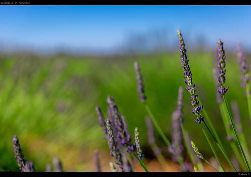 france flower green nature fleur field canon purple lavender vert provence fullframe lavande sud flore 6d provencia