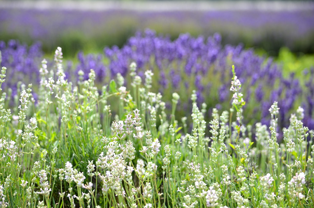 Lavender Festival in Prince Edward Country