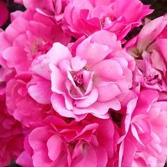 shrub(0.0), garden roses(0.0), rosa 㗠centifolia(0.0), carnation(1.0), annual plant(1.0), cut flowers(1.0), floribunda(1.0), flower(1.0), plant(1.0), flower bouquet(1.0), floristry(1.0), peony(1.0), pink(1.0), petal(1.0),