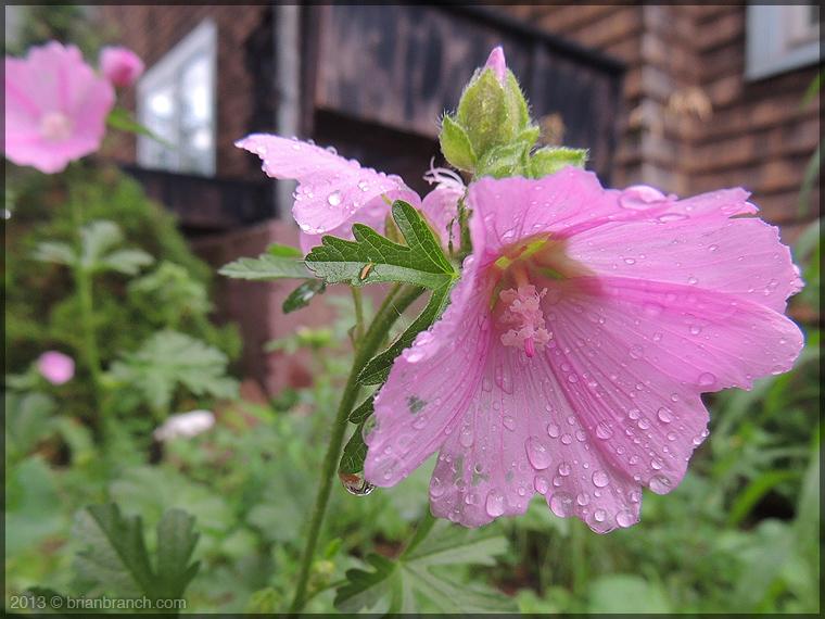 DSCN1983+pink_flower