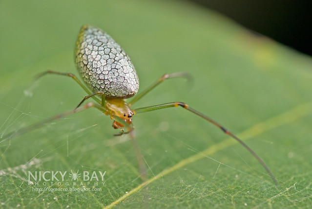 Big-Jawed Spider (Mesida sp.) - DSC_1434