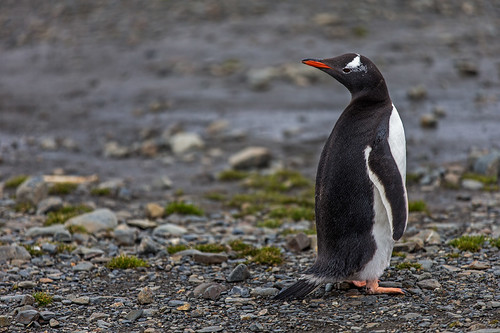 Gentoo Penguin, Stroemness by bfryxell