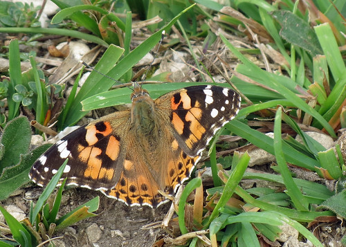 Painted Lady - Vanessa cardui
