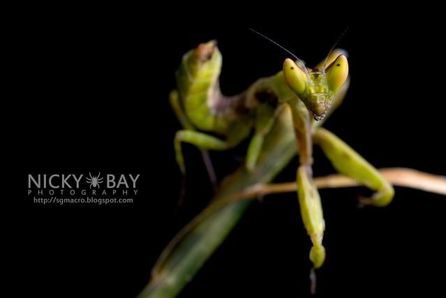 Flower Mantis nymph (Hymenopodidae?) - DSC_3698