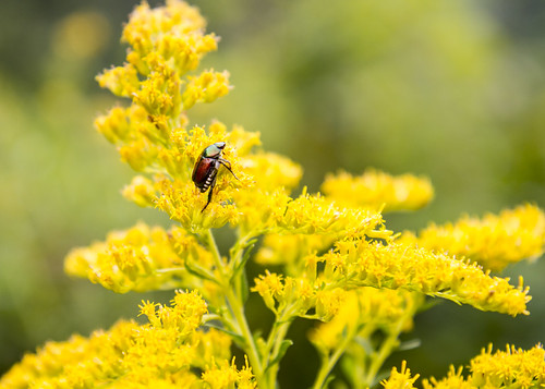 Japanese Beetle on Goldenrod #1