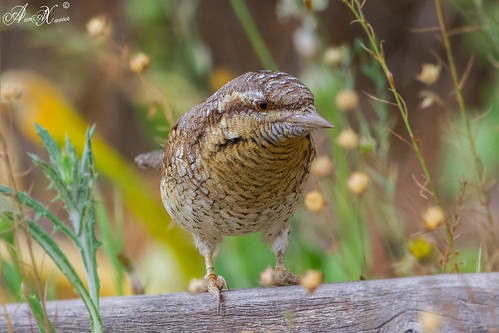 Torcicolo, Eurasian wryneck (Jynx torquilla)  - em Liberdade [in Wild]