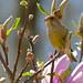 Greenfinch (Carduelis chloris) ©berniedup