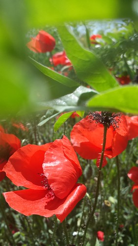A #poppy for you | Una #amapola para ti
