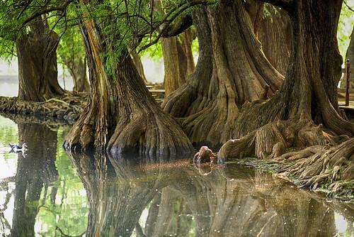 trees lake tree water landscape lago arboles paisaje el arbre sabino ahuehuete sabinos nikoniano méxico michoacán waterenvirons ahuehuetedemoctezuma sergioalfaroromero lakesofmexico camécuaro