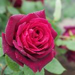 Rose, Oklahoma, バラ, オクラホマ,
