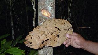 Basiloxylon brasiliensis (Allemão) K.Schum.
