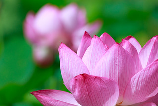 Lotus flower | by t.kunikuni