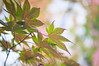 Green to Brownish Maple Leaves Bokeh