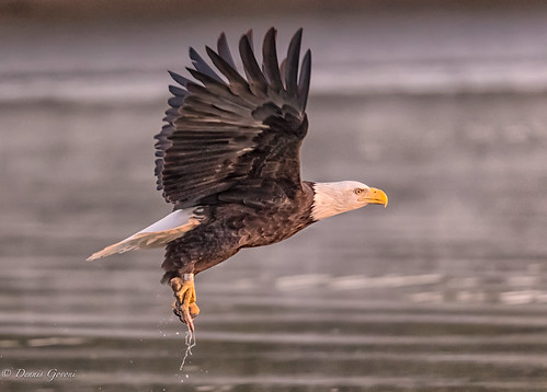virginia action background bird eagle fall fish fog jamesriver sunrise water wildlife henrico unitedstates us